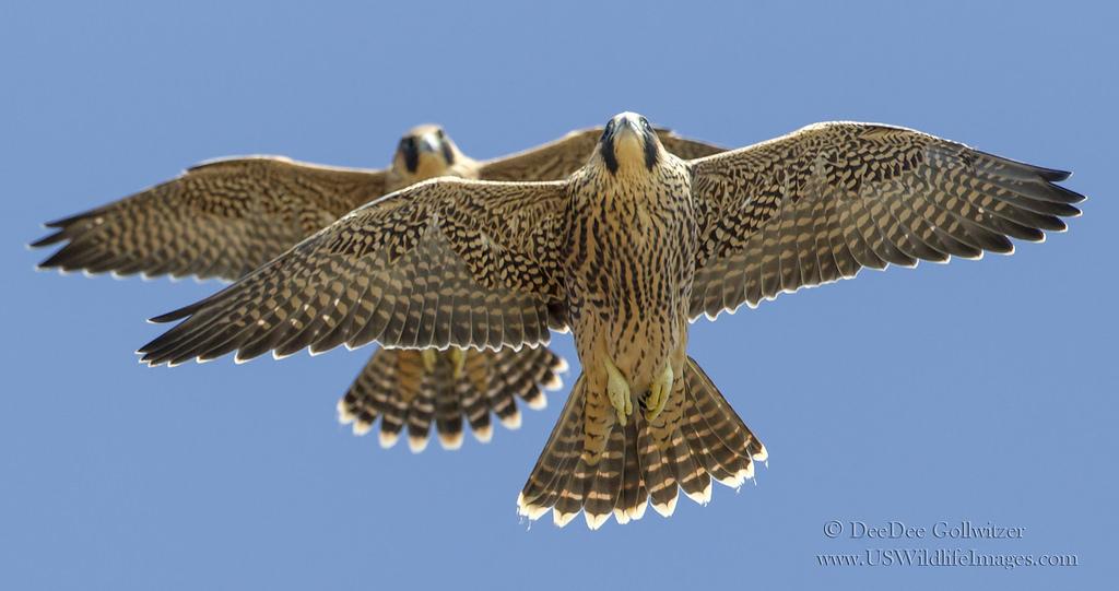 Faucons volant ensemble