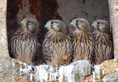 Quatre faucons